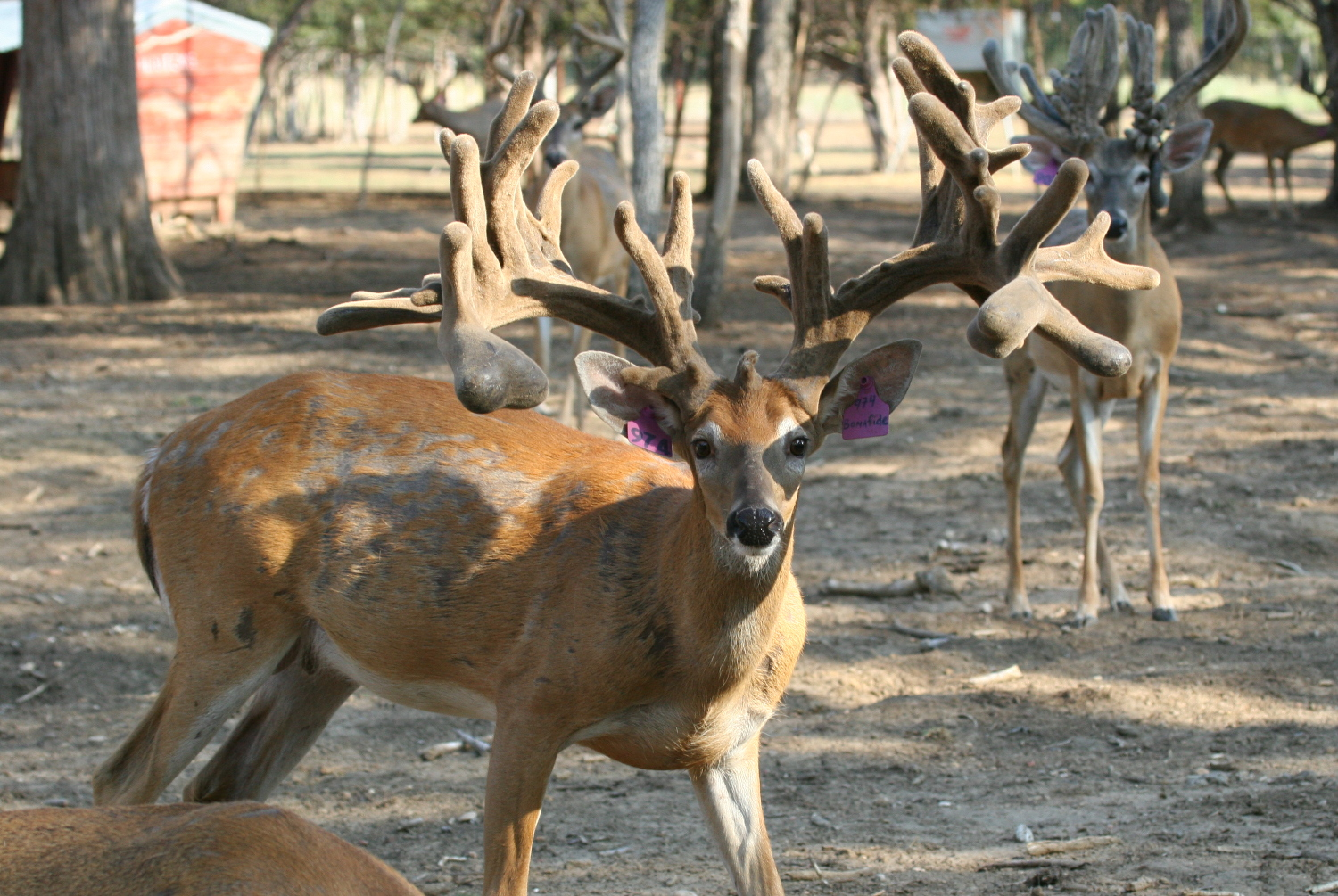 Texas Whitetail Breeding
